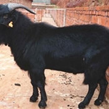 供应纯种杜泊绵羊价格适合放养的肉羊品种