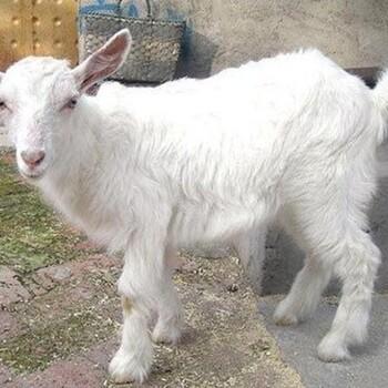 活体小羊羔低价杜泊绵羊杜寒杂交羊波尔山羊莎能奶山羊乌骨羊