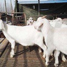 涨势快效益好的肉羊品种波尔山羊杜泊绵羊黑山羊美国白山羊图片