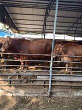 6個月西門塔爾肉牛批發價格魯西養牛場價格合理質量好圖片
