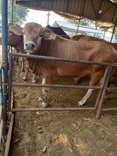 云南养殖场鲁西黄牛300斤小黄牛犊价格改良肉牛图片
