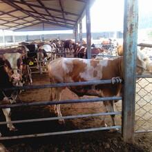 廣西育肥牛養殖東北肉牛價格優惠廣東改良牛犢養殖廠家圖片