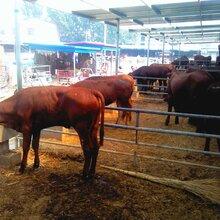 鲁西黄牛西门塔尔牛利木赞牛品种齐全包邮图片