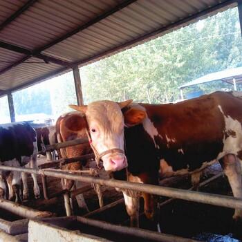 长期出售各种优质育肥牛屠宰肉牛三元杂交牛黄牛批发价格免费运输