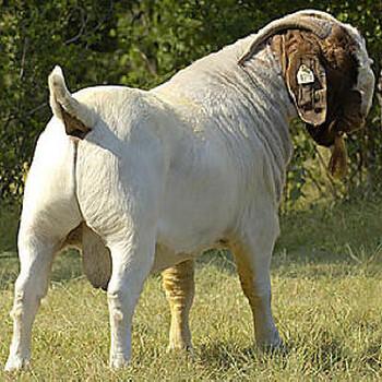 春天天主福音特码报什么肉羊长势快成活率高波尔山羊小羊羔全国包邮