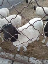 白杜泊绵羊黑头杜泊绵羊湖羊养殖价格图片