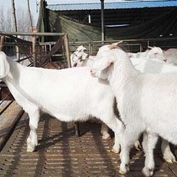 广西纯种波尔山羊一只多少钱波尔山羊纯种多少钱黑山羊种苗价格