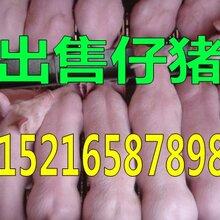仔猪养殖场三元仔猪价格行情图片