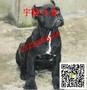 一只纯种的卡斯罗犬多少钱卡斯罗犬价格图片