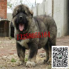 高加索犬幼犬多少钱高加索多少钱高加索犬图片图片