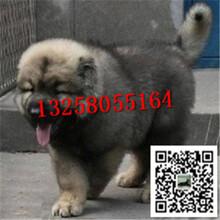 一只纯种的高加索犬多少钱高加索犬价格图片