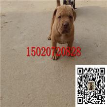 比特犬价格多少钱一只纯种比特犬价格比特犬图片图片