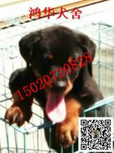 现在一只纯种的罗威纳犬多少钱罗威纳犬价格图片图片