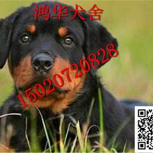 罗威纳犬怎么训练罗威纳犬价格图片图片
