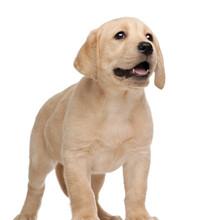 成年柯基犬价格是多少哪里有卖小柯基犬的柯基犬幼崽训练视频图片