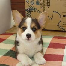 純種小短腿柯基犬多少錢小柯基犬價格圖片柯基犬幼犬訓練視頻圖片