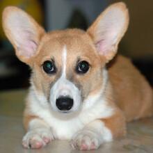 柯基犬小狗多少钱哪里有柯基犬宠物店成年柯基犬训练视频图片