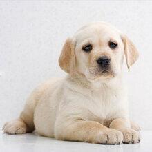 拉布拉多犬狗崽价格拉布拉多犬打架视频小拉布拉多犬多少钱图片
