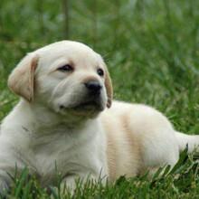 柯基犬幼崽几个月换牙出售小柯基犬图片小短腿柯基犬多少钱图片