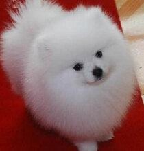 小柯基犬價格是多少柯基犬小狗圖片價格哪里有柯基犬出售圖片