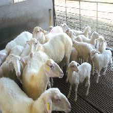 湖羊规模养殖效益提高方法图片