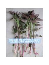 山东产地培育一级紫薯苗量大优惠图片