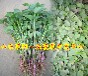 山东莱阳脱毒紫薯苗育苗