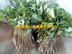 紫薯苗▁紫薯苗产地▁紫薯苗价格▁紫薯苗批发▁紫薯苗种植▁紫薯苗一级脱毒种薯育苗