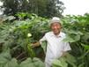 黄秋葵种子杨贵妃多少钱一斤