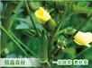 花卉黄秋葵与蔬菜黄秋葵有什么区别