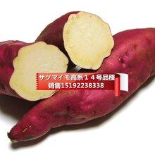 日本高系14号红皮白心板栗薯图片
