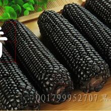 黑甜加糯玉米种子图片