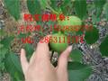 仁怀最好的核桃苗品种,川早2号核桃苗的优势,仁怀嫁接核桃苗新品种图片