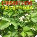 浙江有草莓苗基地吗,杭州草莓苗基地批发,优质大棚草莓苗