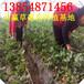 黑龙江菠萝莓草莓苗哪里有白草莓苗草莓苗大棚种植