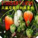 邯郸草莓苗基地,河北哪里批发大棚草莓苗,四季草莓苗