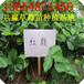 江苏大棚草莓苗,红颜大棚草莓苗多少钱,四季产果草莓苗基地