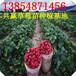 上海菠萝莓草莓苗哪里有
