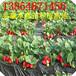广西哪里有草莓苗,南宁草莓苗基地,大棚草莓苗销售厂家