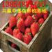 新疆菠萝莓草莓苗哪里有