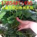 辽宁晚熟草莓苗,过年?#40092;?#33609;莓苗?#20998;郑?#22823;棚草莓苗销售基地