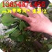 山东草莓苗基地基地批发大棚草莓苗红颜草莓苗哪里有