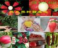 广东阳江蓝莓树哪里卖蓝莓树苗此处多少钱一株