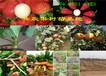 湖南湘西薄皮核桃樹哪里有、薄皮核桃樹苗多少錢賣