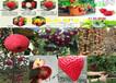 湖南郴州櫻桃樹哪里有2年櫻桃樹苗近期多少錢一棵