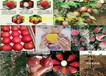 浙江杭州李子樹哪里賣李子樹苗此處多少錢一株