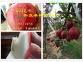 贵州黔南早熟梨树哪里有、早熟梨树苗多少钱卖图片