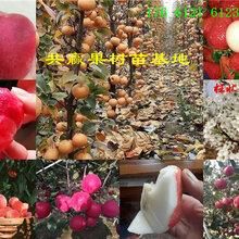 河北承德富士苹果树哪里有、富士苹果树苗多少钱卖图片