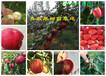 湖南永州嫁接桃樹哪里賣嫁接桃樹苗此處多少錢一株