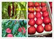 浙江金華蘭溪哪里賣桃樹苗便宜、桃樹基地價格合理、桃樹基地